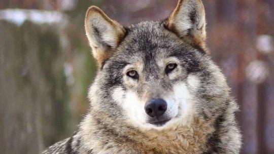 wolf20540_304.width-540.height-304